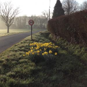 Misty Morning with daffodils